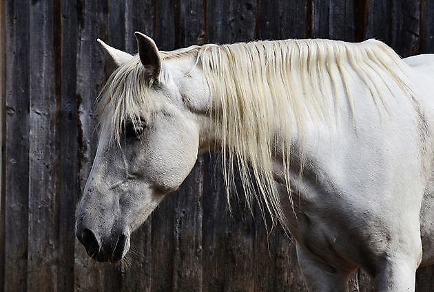 Paardenmassage - Praktijk PrimaVera Finsterwolde